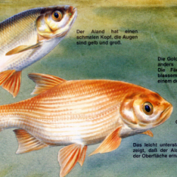 Angelstunde der aland nerfling oder auch goldorfe for Goldorfe fisch