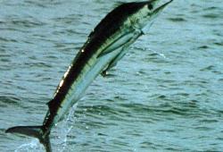 Der Marlin ein Gladiator der Meere