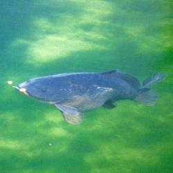 Oberflächenfischen auf Karpfen, erfolgreiche Angelmethode