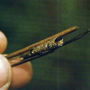 Angeln mit Insekten am Haken, man muss feindrahtige Haken verwenden