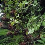 Beeren als Angelköder