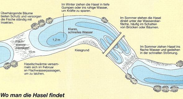 Der Hasel kommt in fast allen fließenden Gewässern Europas vor