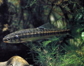 Elritze der winzige fisch ist in sauberen b chen for Fressen kois kleine fische