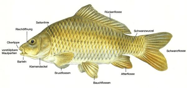 Angelstunde fisch k rperbau funktion lebensweise for Karpfen steckbrief