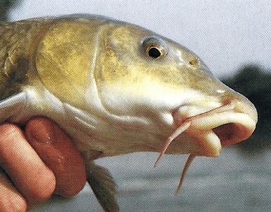 Fischmaul Stellung, was Maulformen über den Fisch verraten ?
