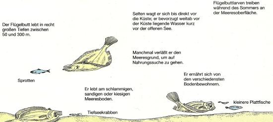 Flügelbutt