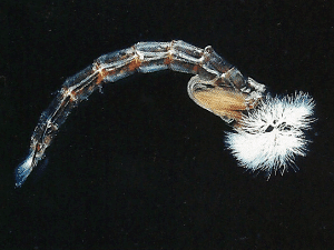 Stechmückenpuppe