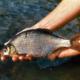 Die Güster – Brassen zum Verwechseln ähnlich, wird nur von Spezialisten befischt