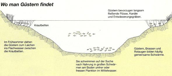 Die Güster - Brassen zum Verwechseln ähnlich, wird nur von Spezialisten befischt