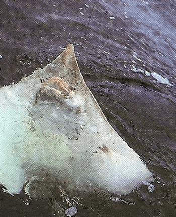 Glattrochen, ein ungewöhnlicher Grundfisch mit erstaunlichen Eigenarten