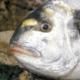Die Goldbrasse ein interessanter Beutefisch für den Specimenhunter