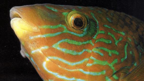 Goldmaid und Kleinmäuliger Lippfisch fressen Parasiten von größeren Fischen