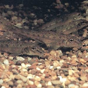 Ein interessanter Fisch für Spezialisten ist der Gründling