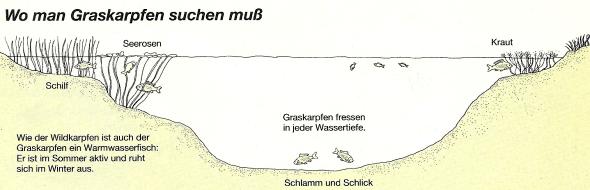 Graskarpfen, ein Fleißiger Krautfresser, sie sind schwierig zu fangen