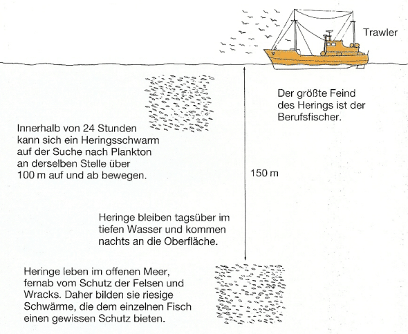Heringe werden oft mit Maifischen oder Sprotten verwechselt
