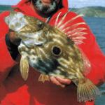 Heringskönig, ihm entkommen selbst die schnellsten Fische nicht
