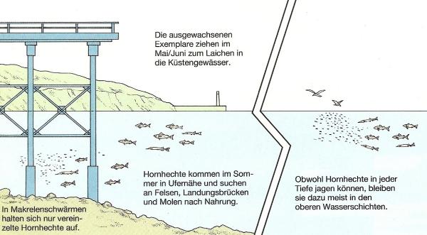 Der Hornhecht kommt an den deutschen Küsten fast überall vor