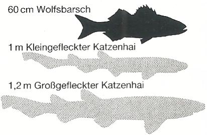 Kleingefleckter Katzenhai und Großgefleckter Katzenhai