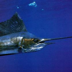 Es gibt nichts Aufregenderes als den Kampf mit einem Sailfisch
