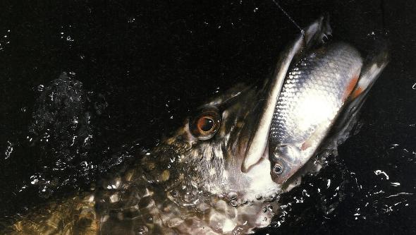 Tote Köderfische sind besser als viele herkömmliche Köder