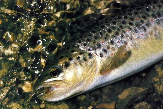 Trockenfliegen am Fluss