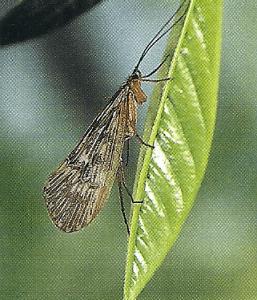 Trockenfliegen, künstlichen Fliegen für den Flugangler