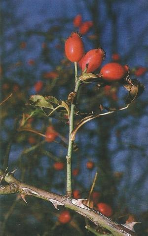 Beeren als Angelköder, für Döbel, Rotaugen und Hasel