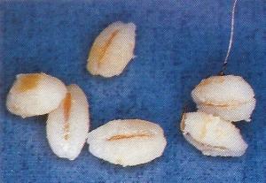 Weizen und Gerste als Köder