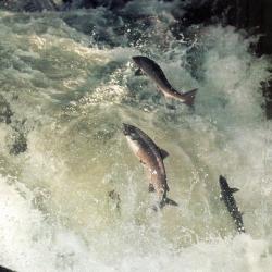 Der Lachs - König der Fische