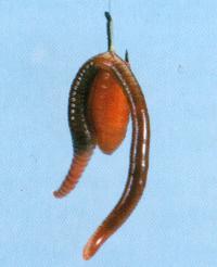 Würmer, Köder für Kapitale